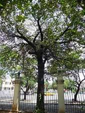 ÁCANA CON MÁS DE 190 AÑOS EN LA QUINTA DE LOS MOLINOS